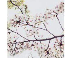 桜お花見2018